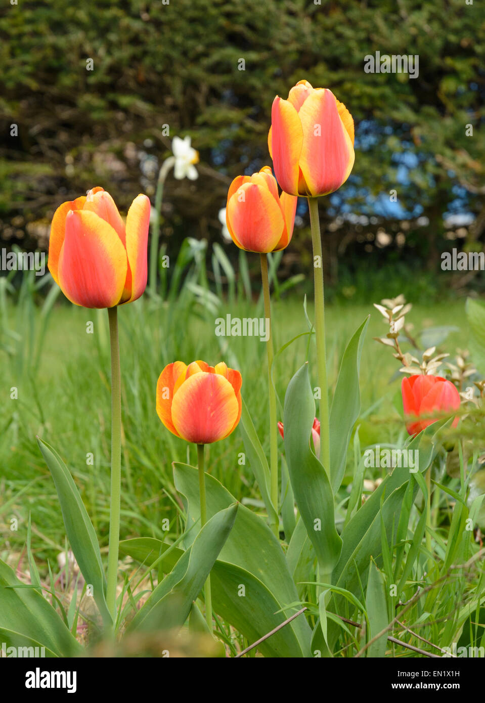 Orange and yellow tulips in Southern England, UK, in late Spring. Stock Photo