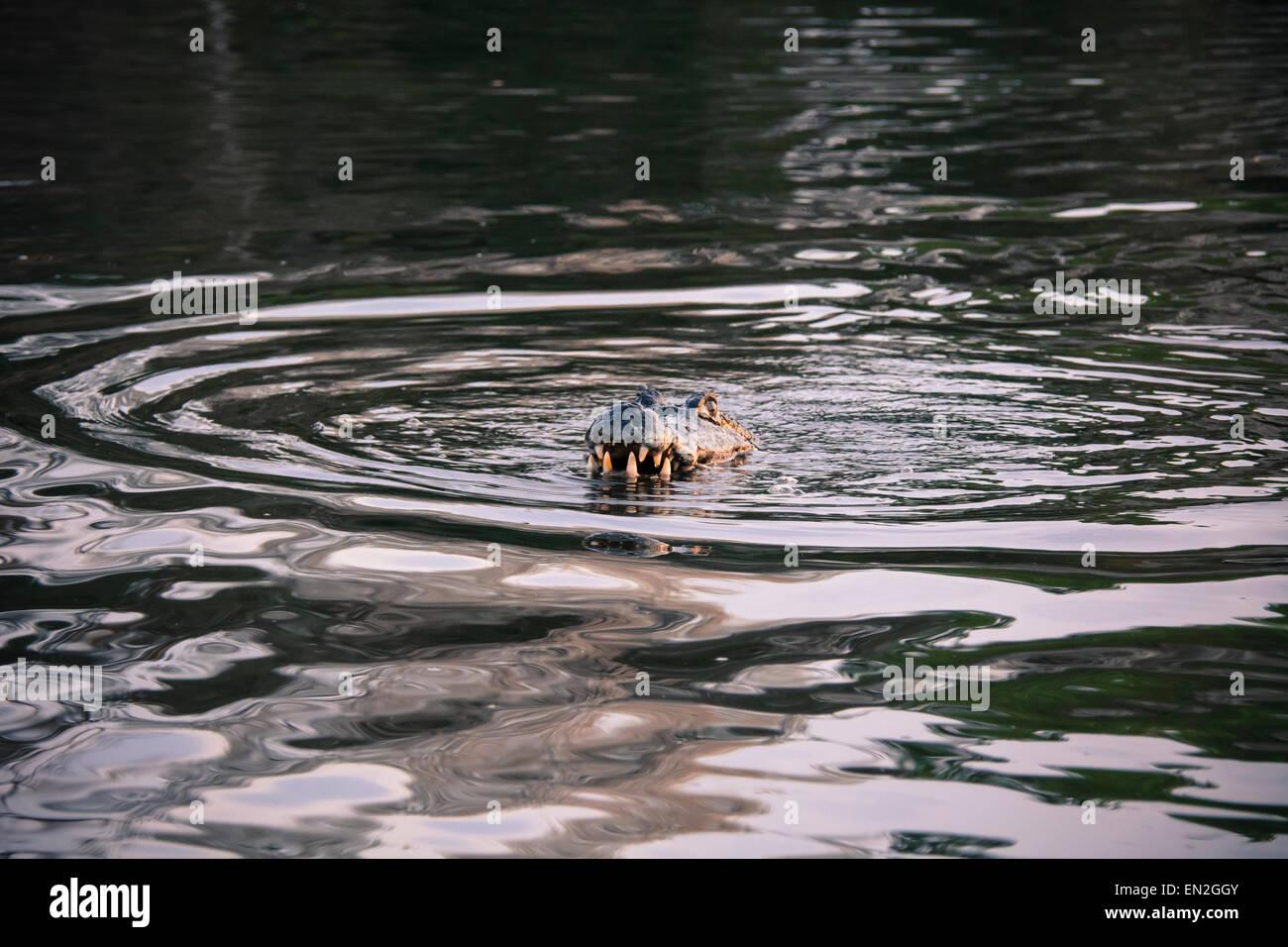 yacare-caiman-caiman-crocodilus-yacare-b