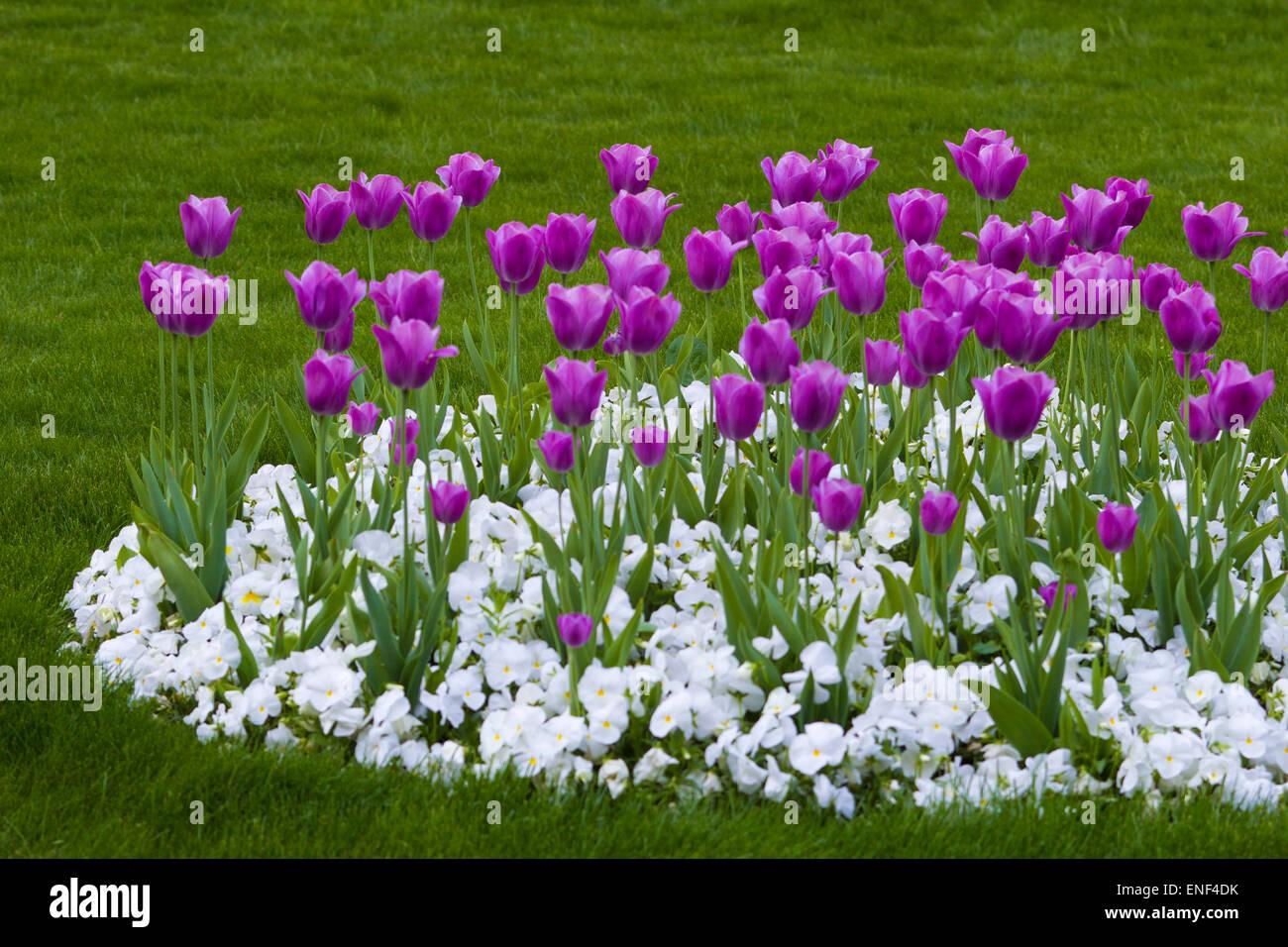 Row Flower Garden : Flower tulips row gardening garden border panorama
