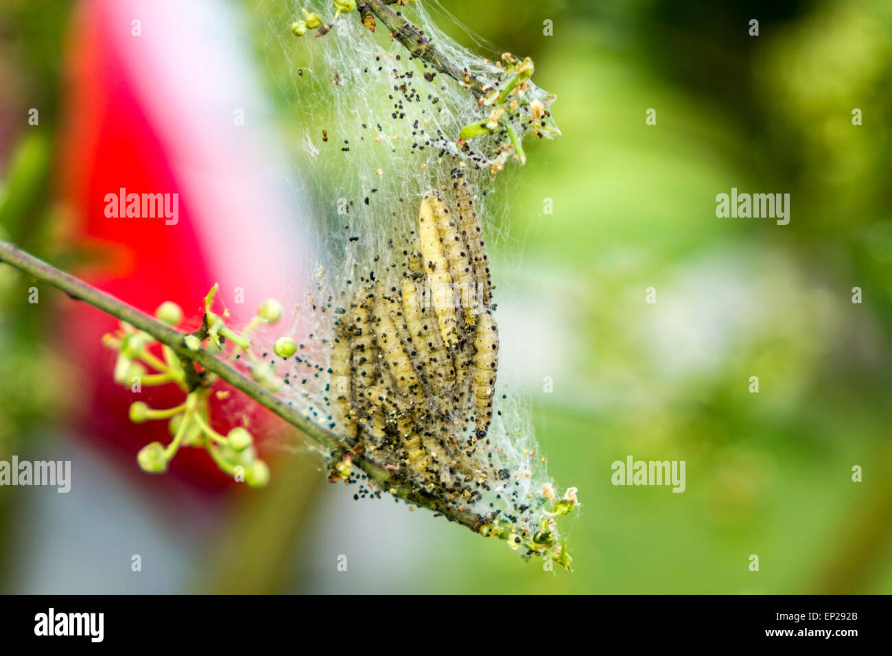colony-of-ermine-moth-caterpillars-eatin