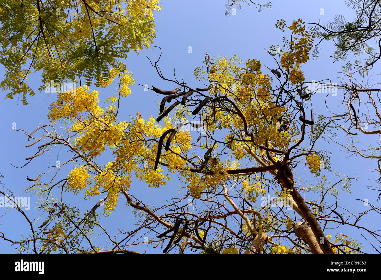 cassia-tree-with-seedpods-in-a-residenti