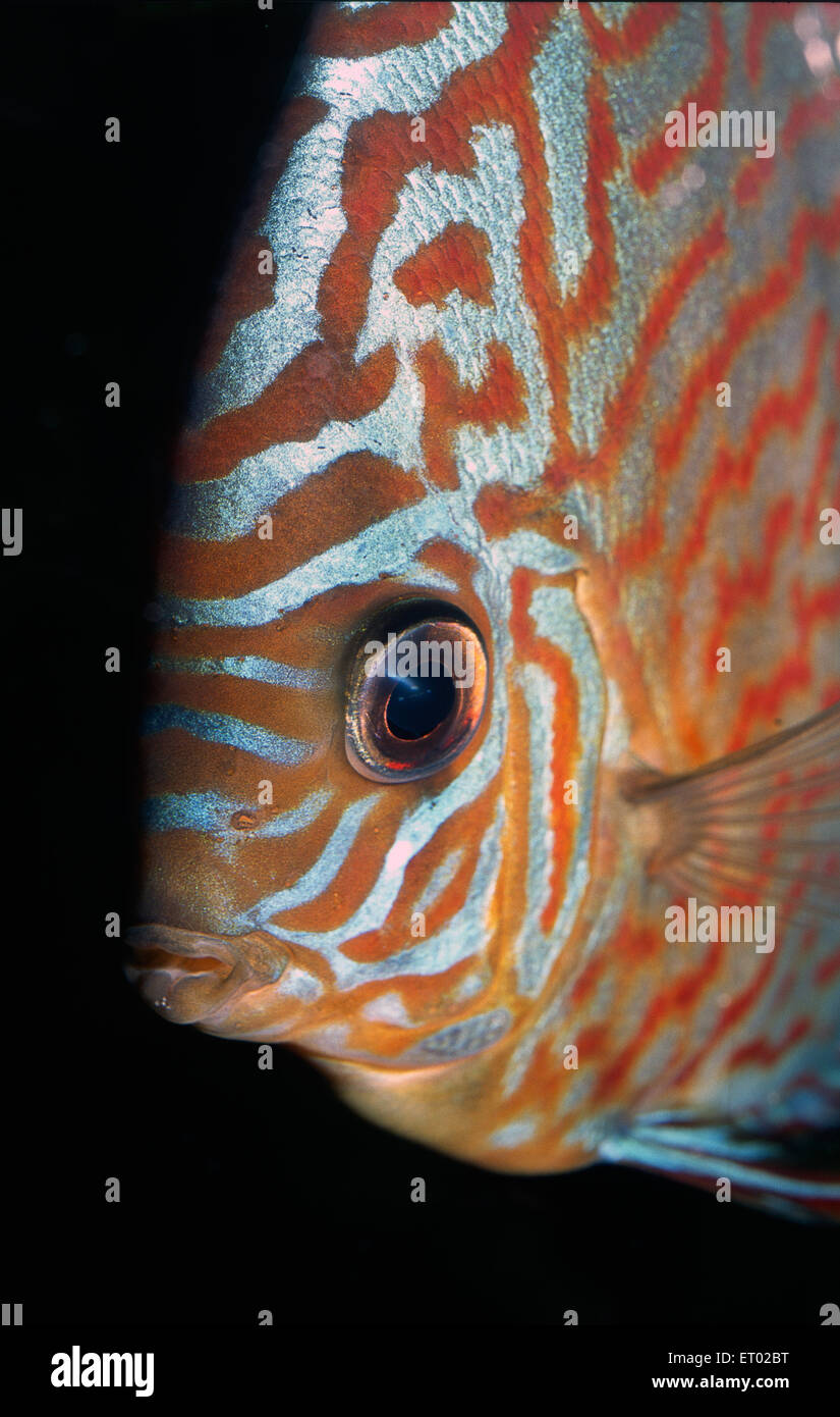 Discus Fish Symphysodon Aequifasciatus Cichlidae South America Stock Photo Royalty Free