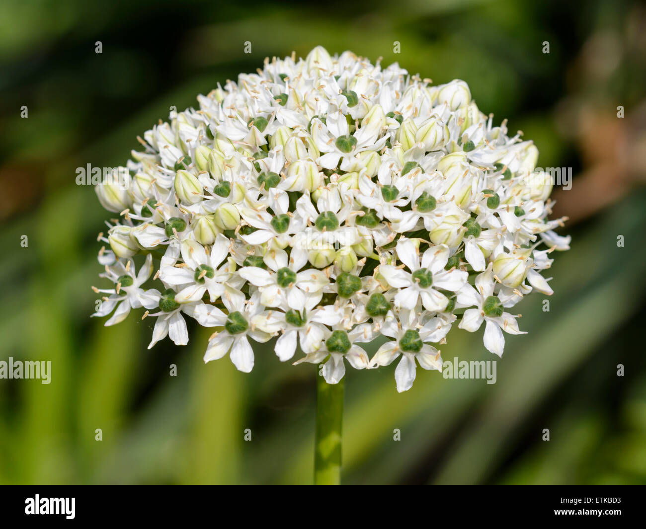 Black Garlic flower (also Broad-leaved Onion or Allium Nigrum) in mid June in the UK. Stock Photo