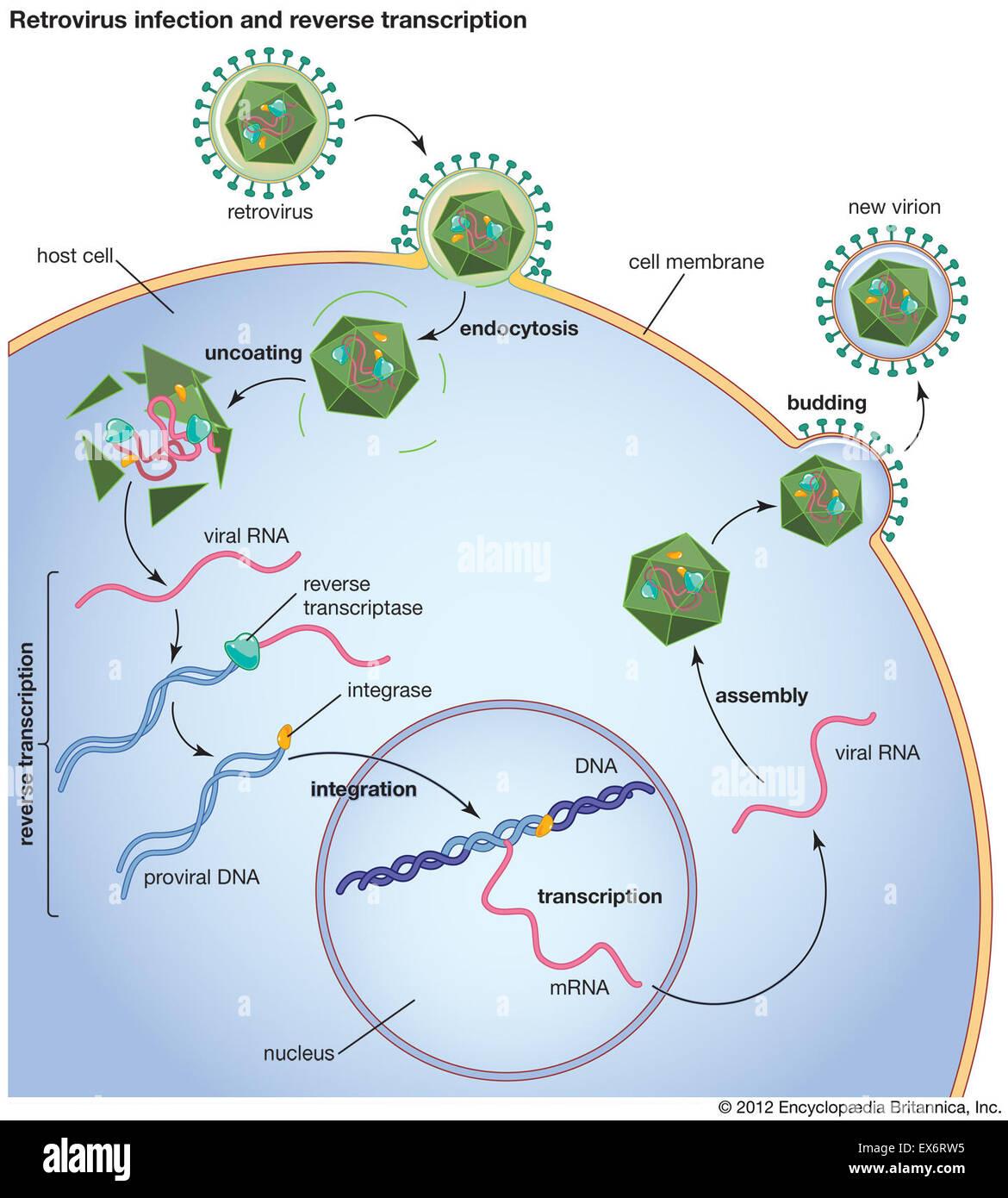 Retrovirus infection and reverse transcription Stock Photo