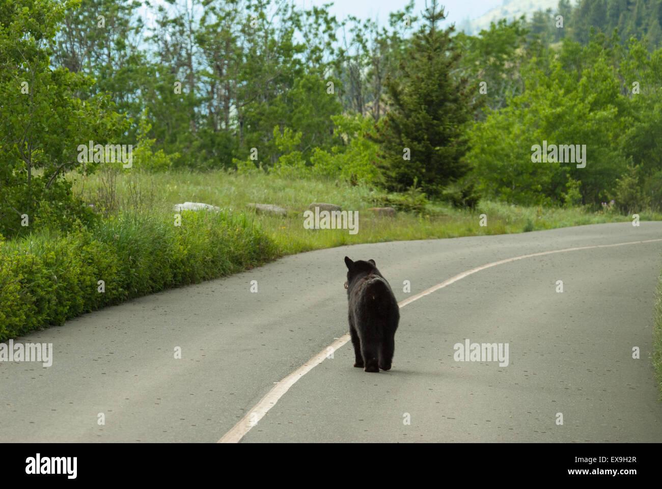 black-bear-ursus-americanus-walking-down