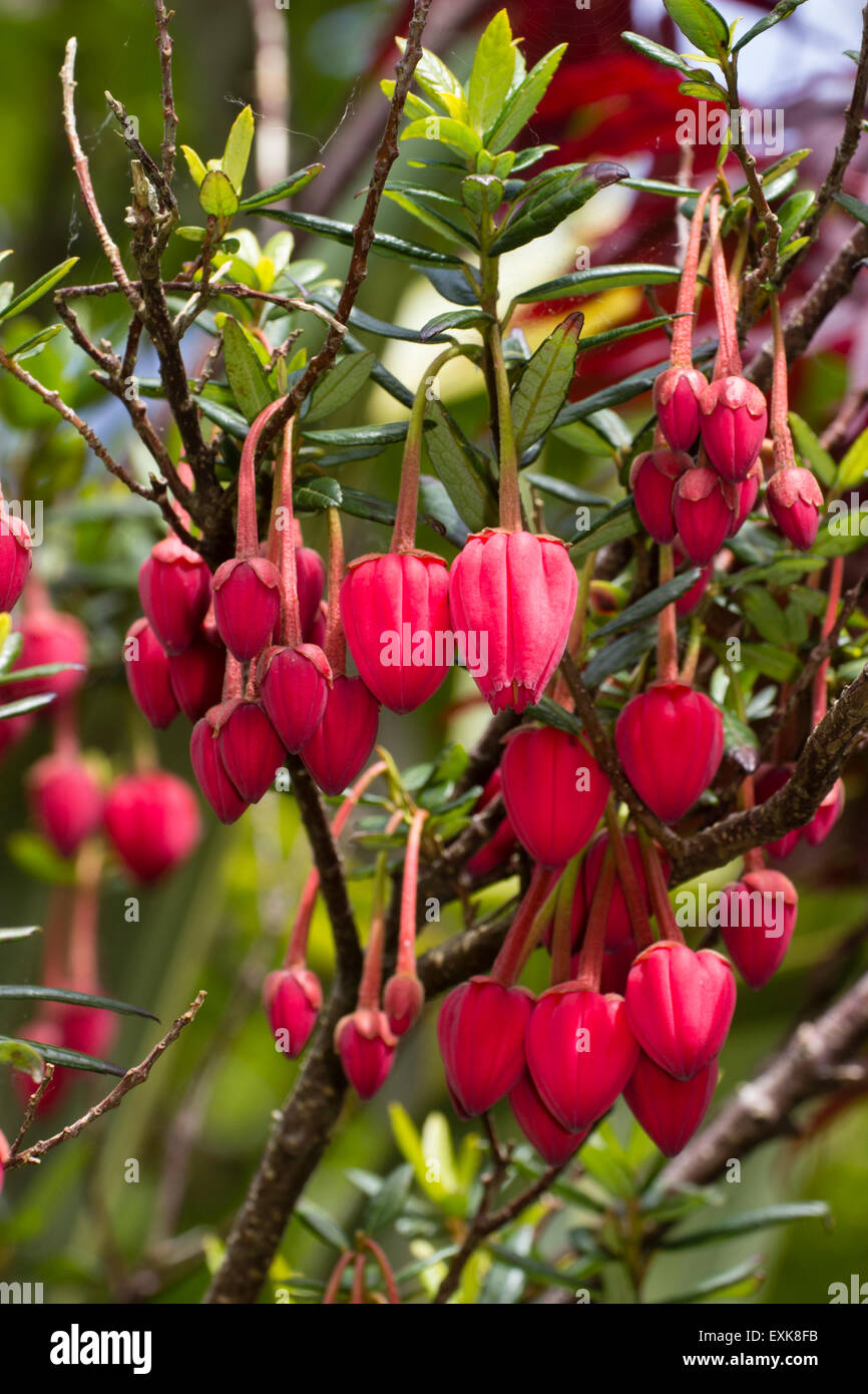 massed-dangling-may-lanterns-of-the-chilean-evergreen-crinodendron-EXK8FB.jpg