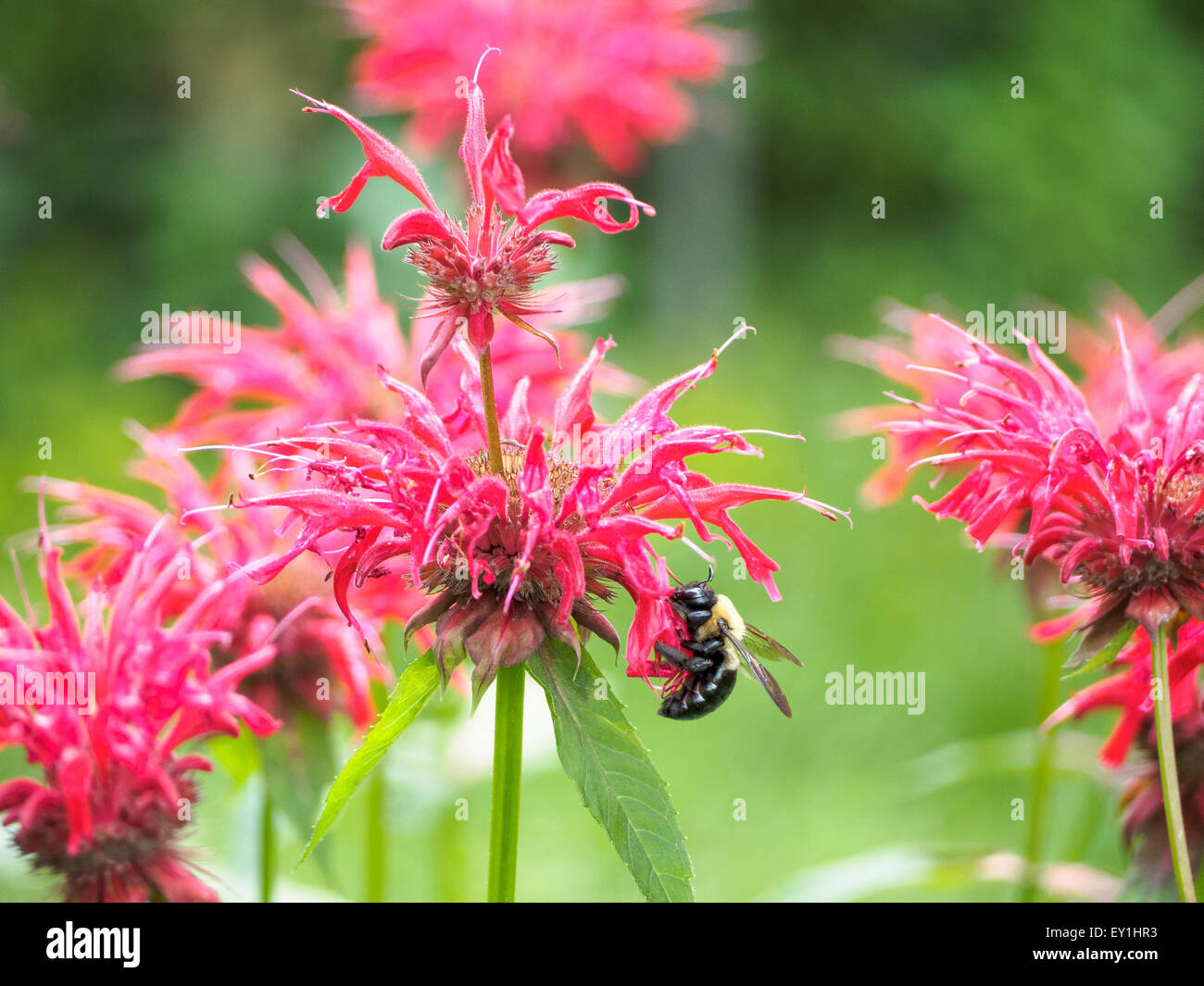 pollen-covered-eastern-carpenter-bee-xyl