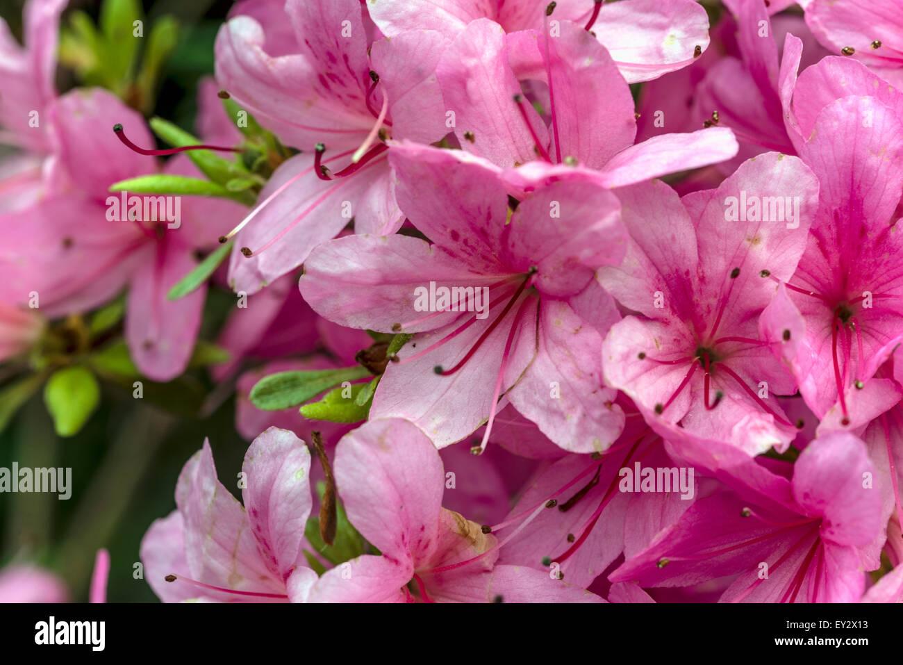 Butterfly Bush Georgia - Arbustos con flores, Arbustos