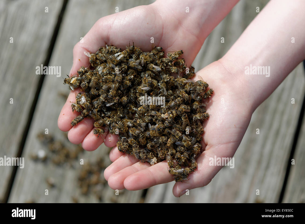 """the consequences of the bee colony collapse disorder Bee colony collapse disorder, a disease of unknown origin and pathology, is  causing  """"the effort to look at the impacts of pesticides has revealed a  surprisingly."""