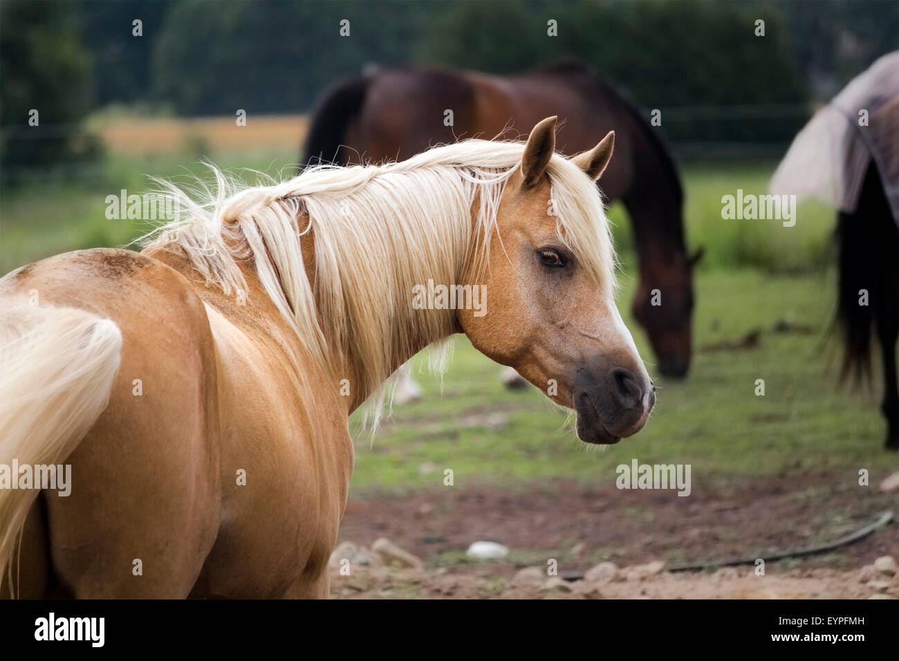 golden-palomino-with-head-turned-to-look