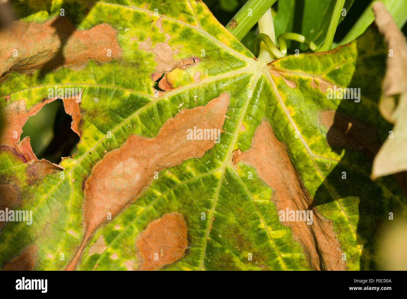 pierces-disease-xylella-fastidiosa-typic