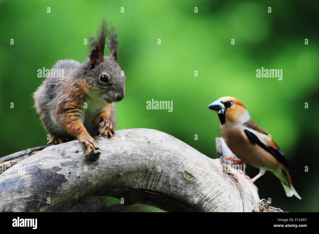 eurasian-red-squirrel-sciurus-vulgaris-a