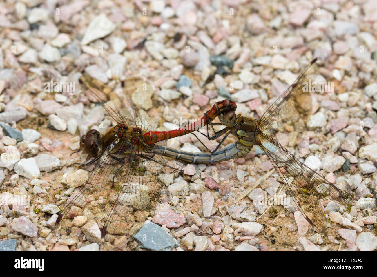 red-male-and-blue-green-female-common-darters-sympetrum-striolatum-F192A5.jpg