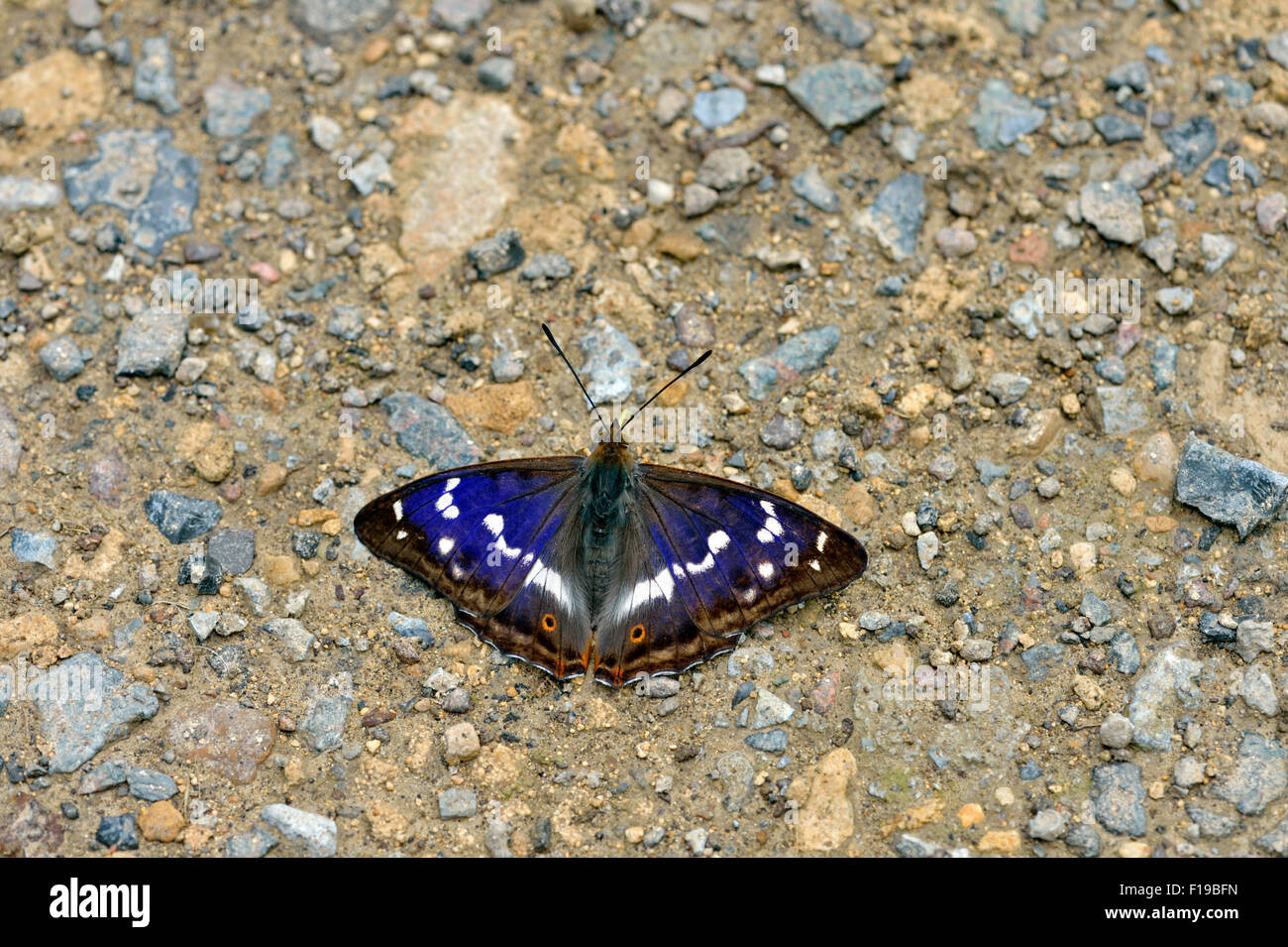 purple-emperor-butterfly-apatura-iris-uk