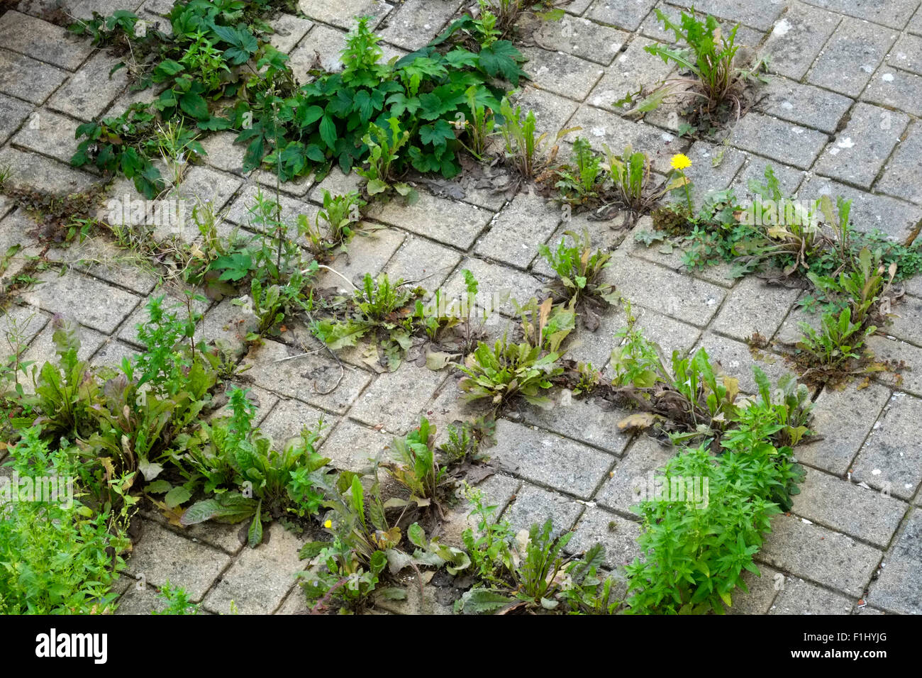 Forum on this topic: How to Grow Grass Between Pavers, how-to-grow-grass-between-pavers/