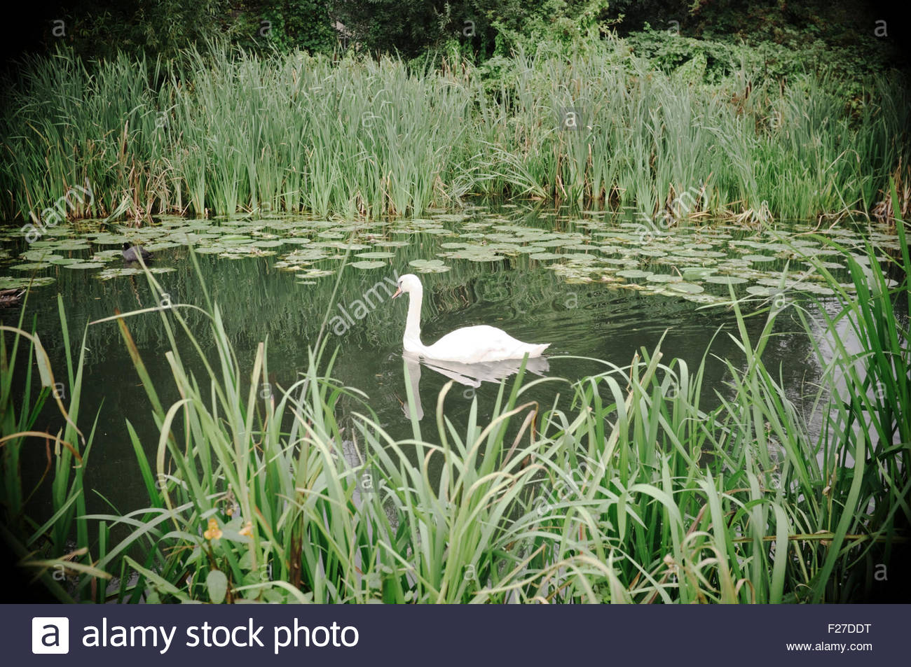 a-swan-glides-along-the-stroudwater-navi