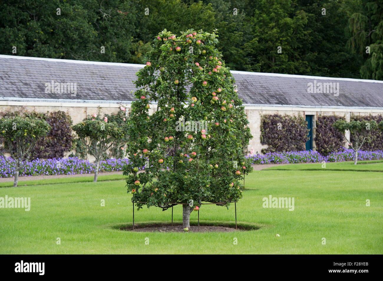 Frame trained apple trees at floors castle gardens kelso for Garden trees scotland