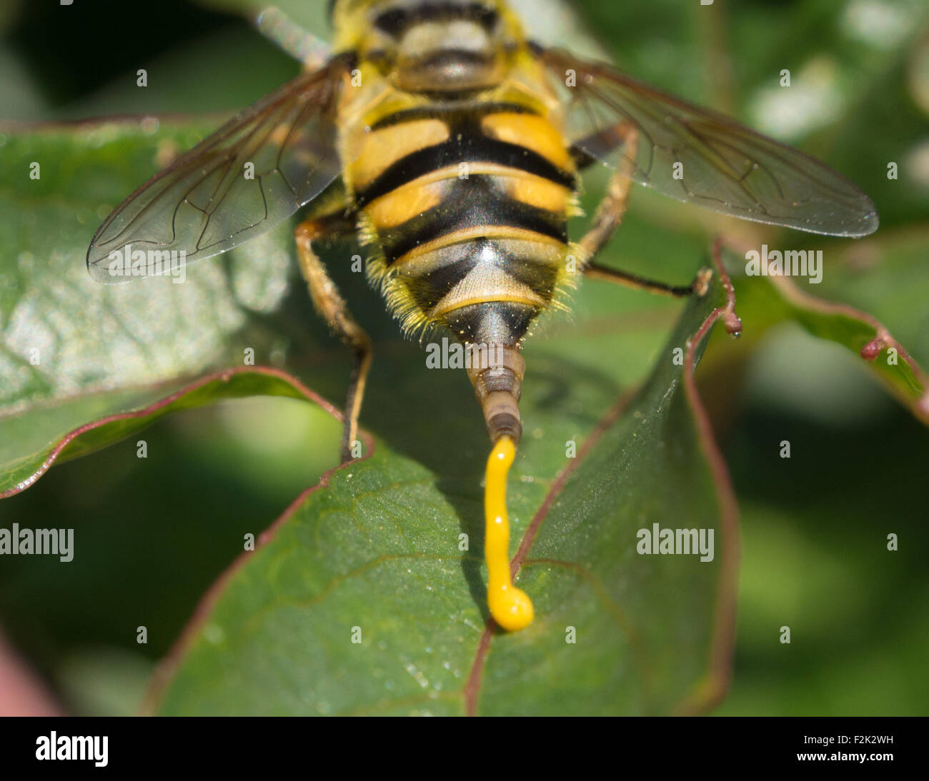 a-hoverfly-defecating-on-a-leaf-F2K2WH.jpg