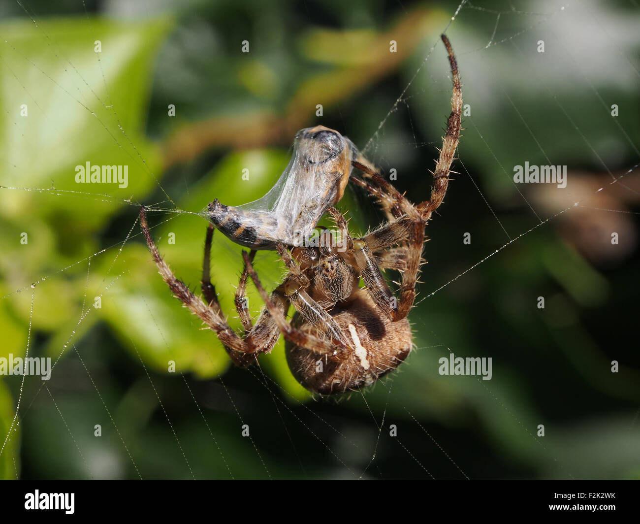 a-garden-spider-araneus-diadematus-wraps-a-hoverfly-in-silk-F2K2WK.jpg