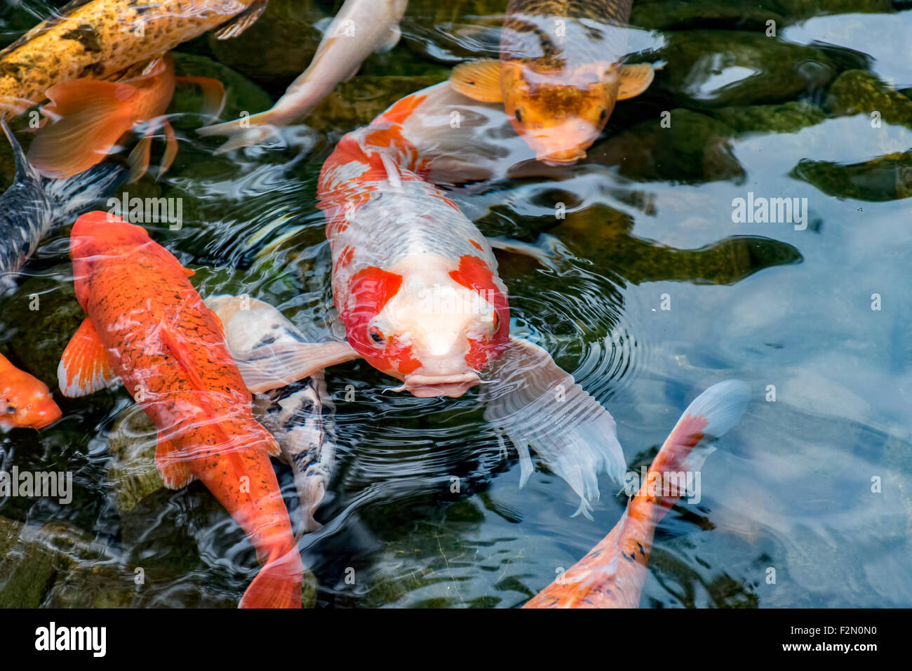 Koi carp fish in pond stock photo 87742732 alamy for Purchase koi fish