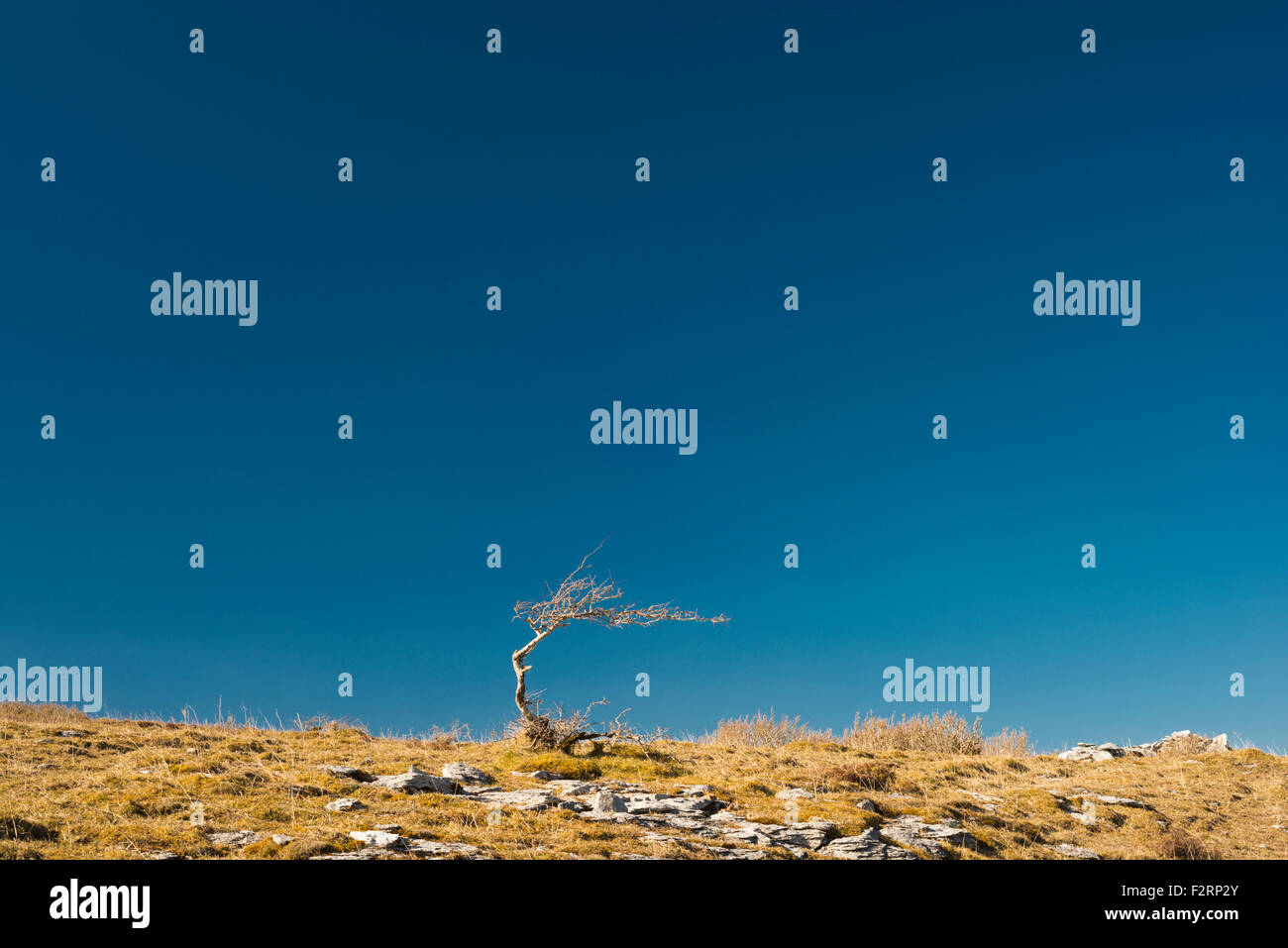 lone-bent-hawthorn-tree-against-clear-bl