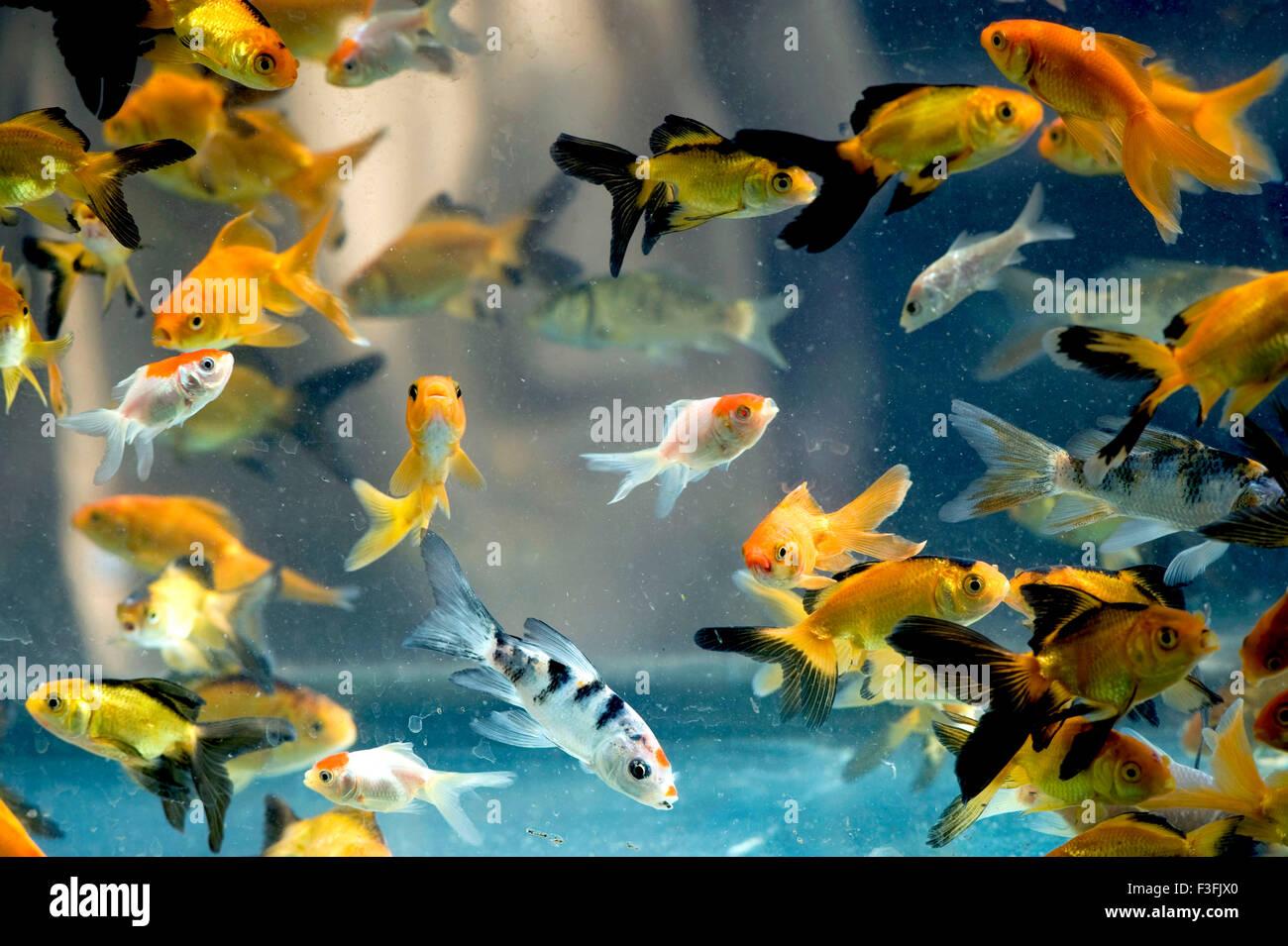 Aquarium fish species red wig high fin platy india for Tropical fish species