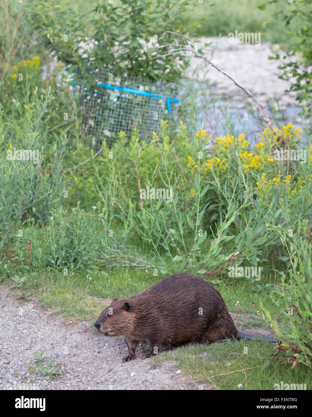 Beaver castor canadensis in city park walking away from for Castor habitat