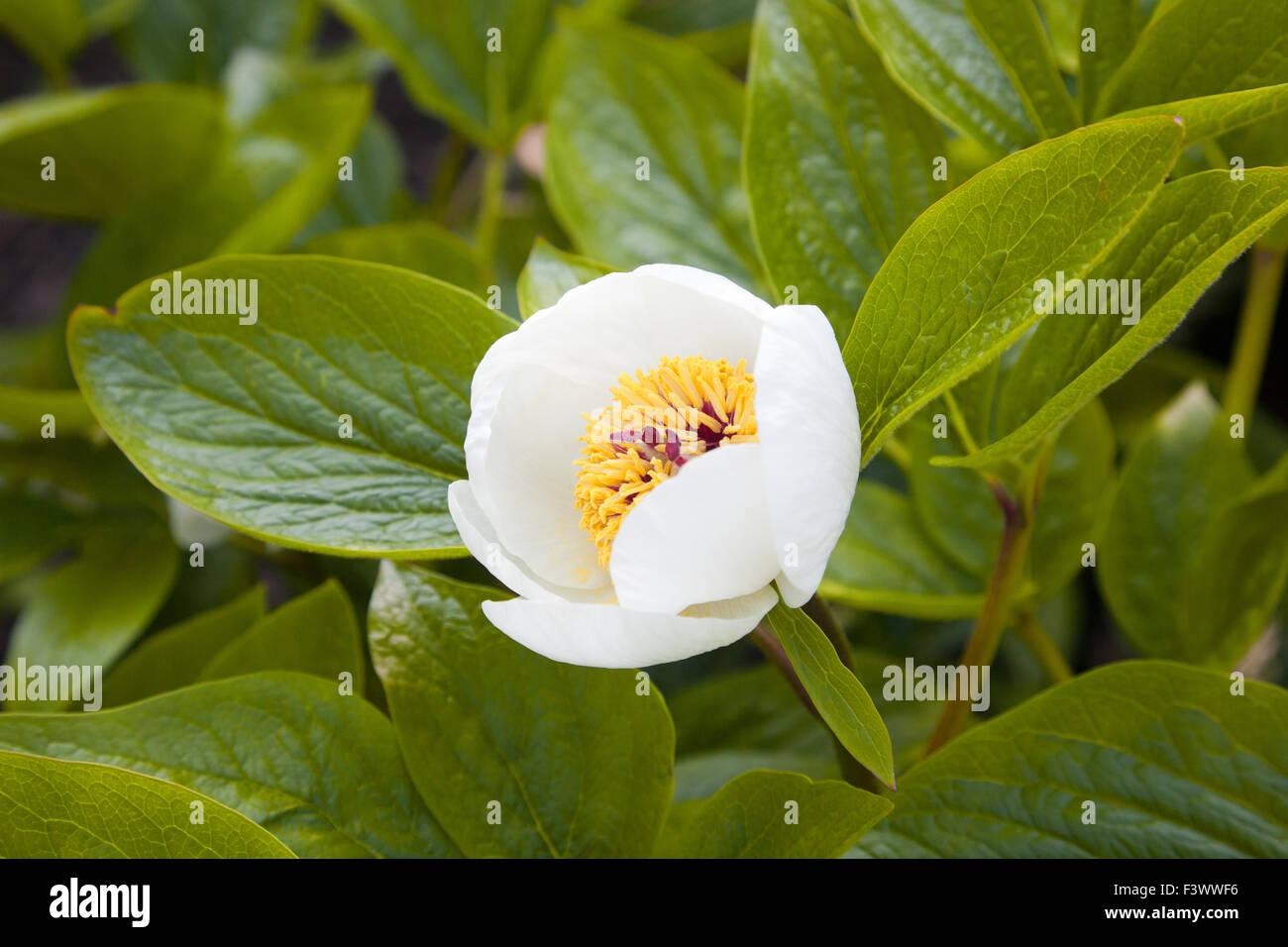 Macro of paeonia officinalis stock photo royalty free for Paeonia officinalis