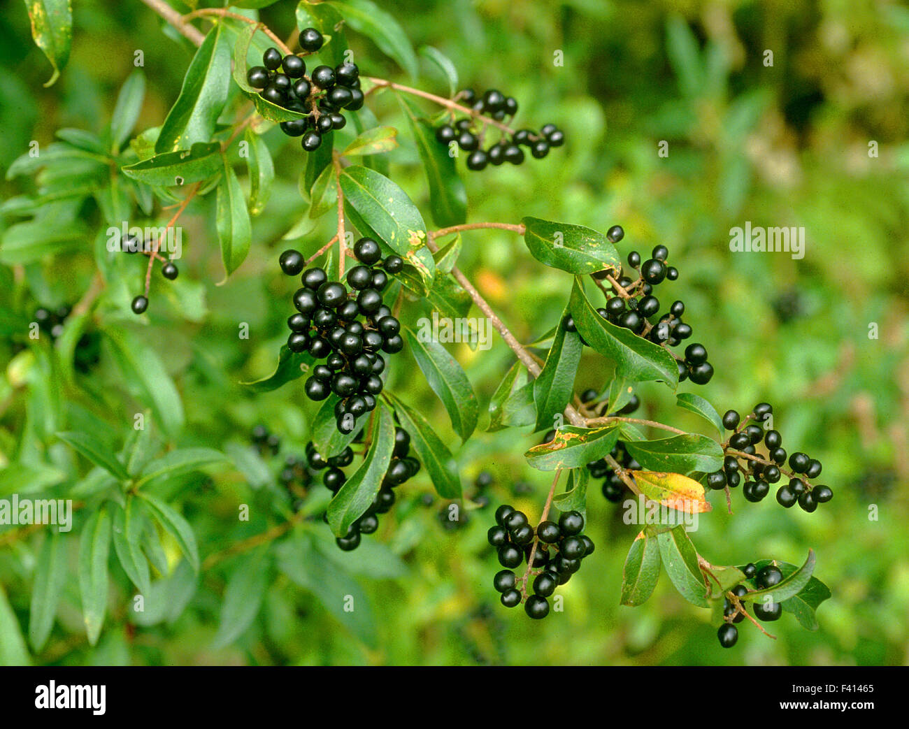 berry shrub liguster stock photo royalty free image. Black Bedroom Furniture Sets. Home Design Ideas