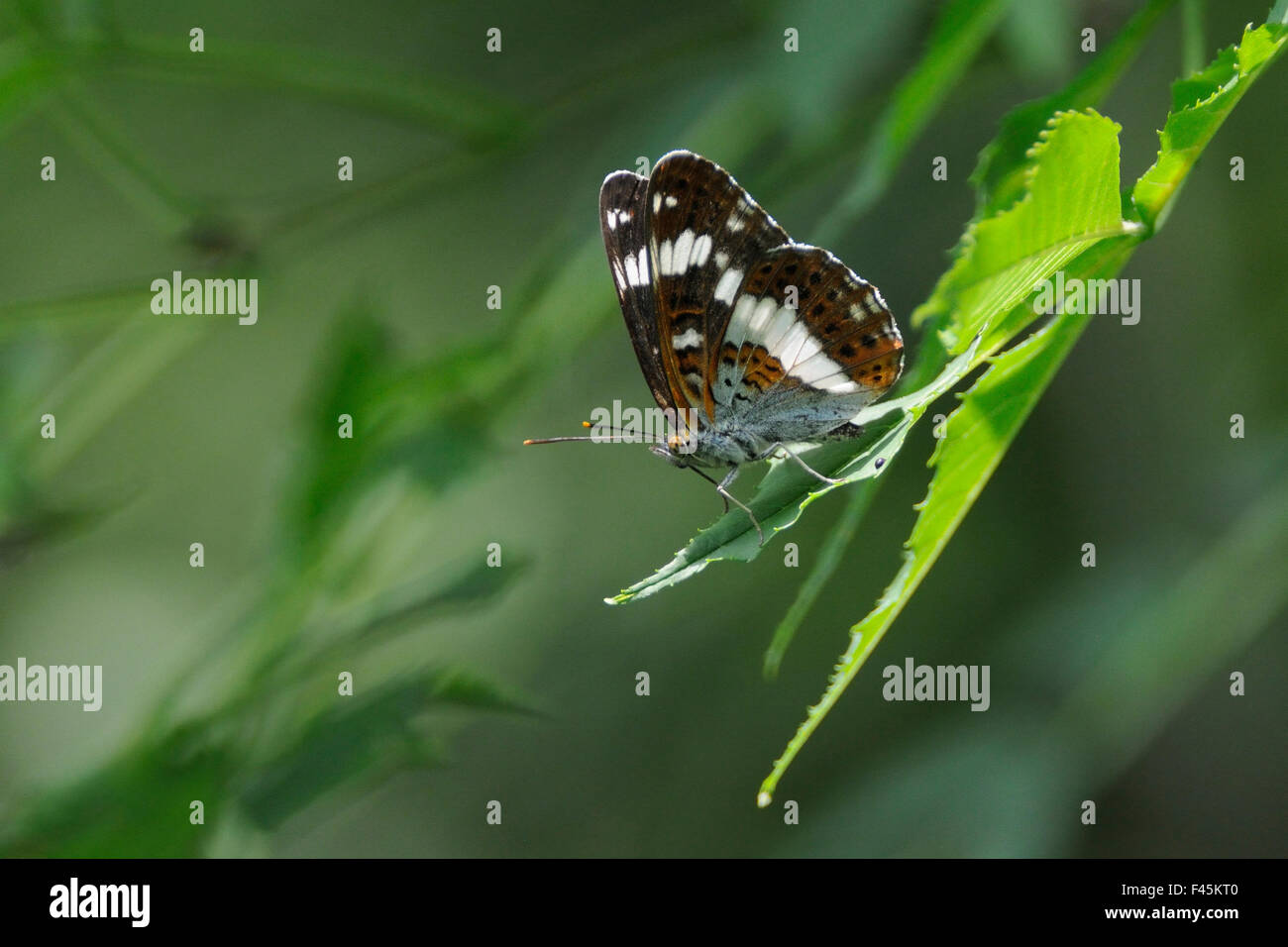 male-white-admiral-butterfly-limenitis-c