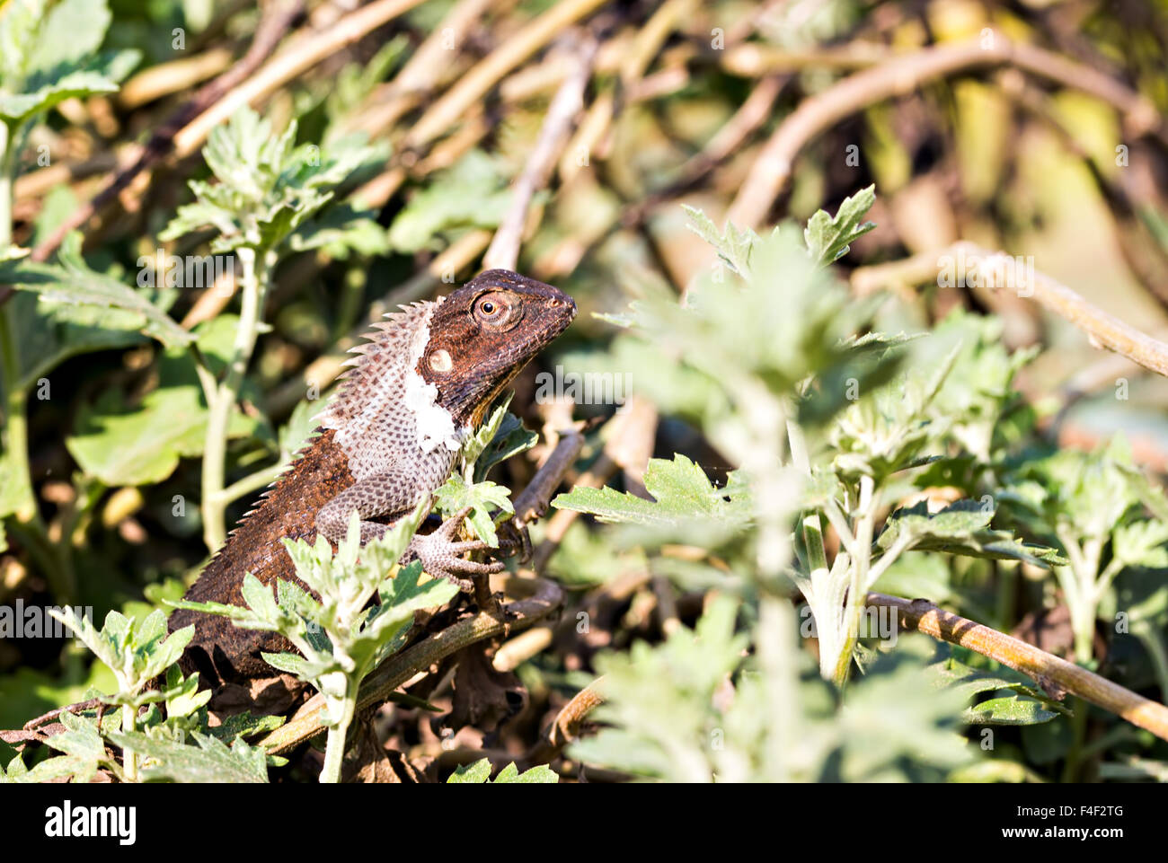 small-dark-brown-lizard-resting-on-a-chr