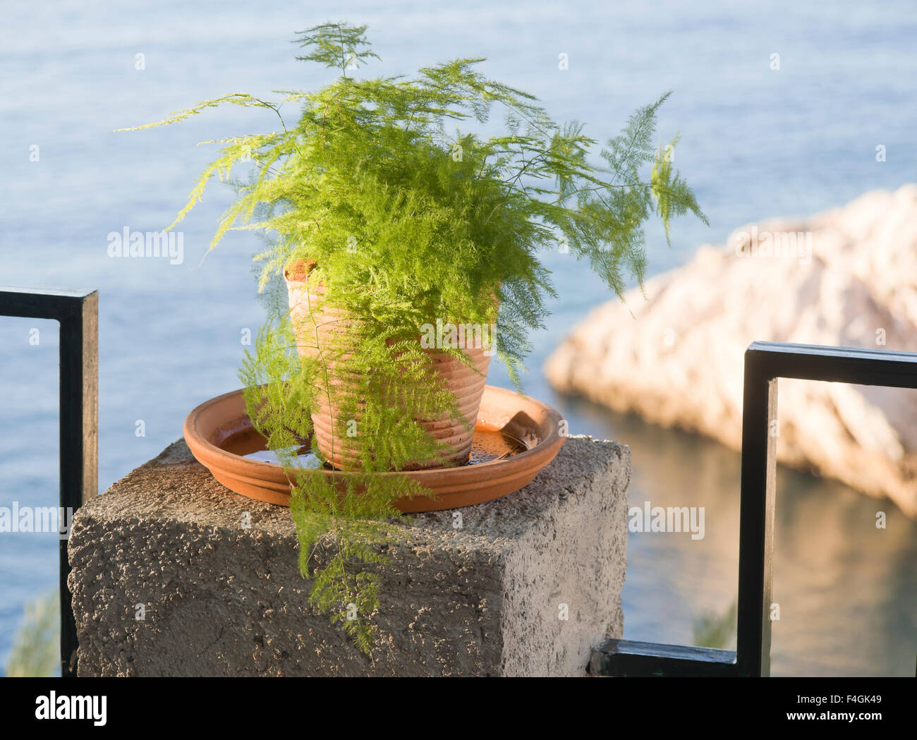 common-asparagus-fern-in-a-flowerpot-dec