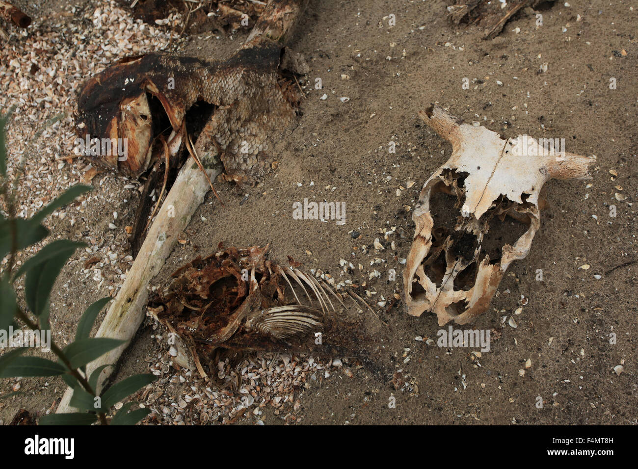 Animal skeletons along the shore of the cooling lakes of ...