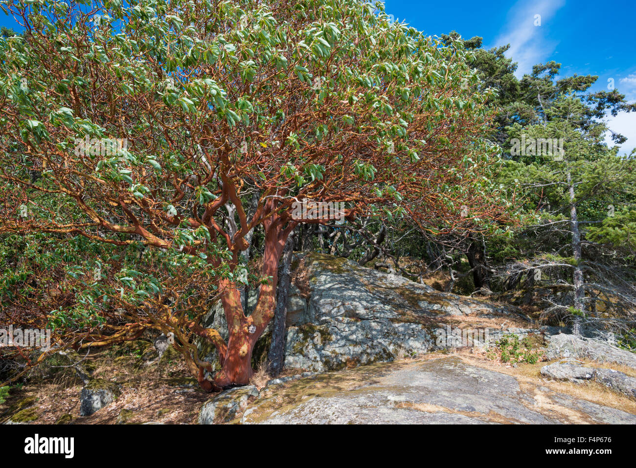 arbutus-tree-arbutus-menziesii-on-an-exp