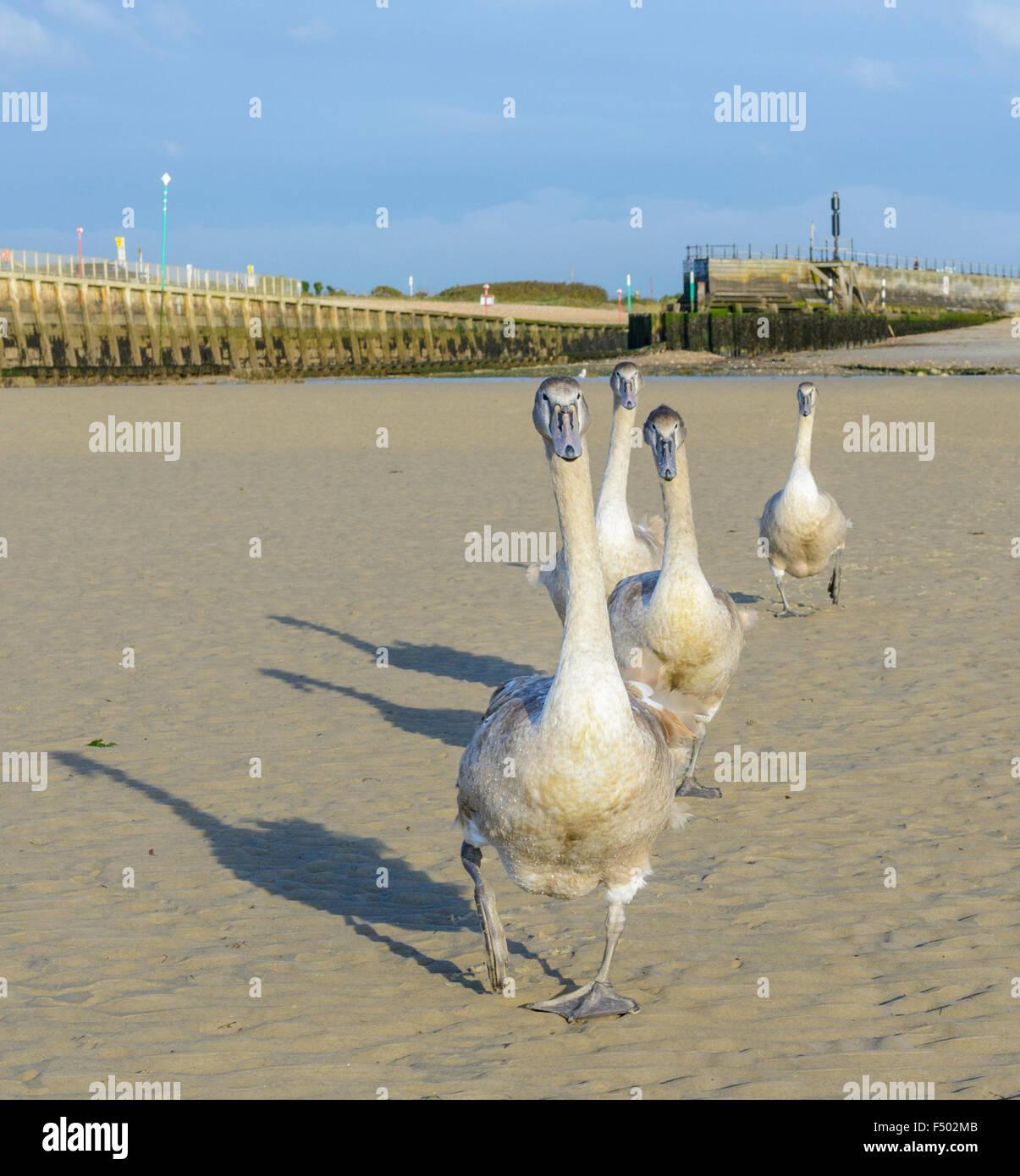 cygnets-walking-across-a-sandy-beach-F502MB.jpg