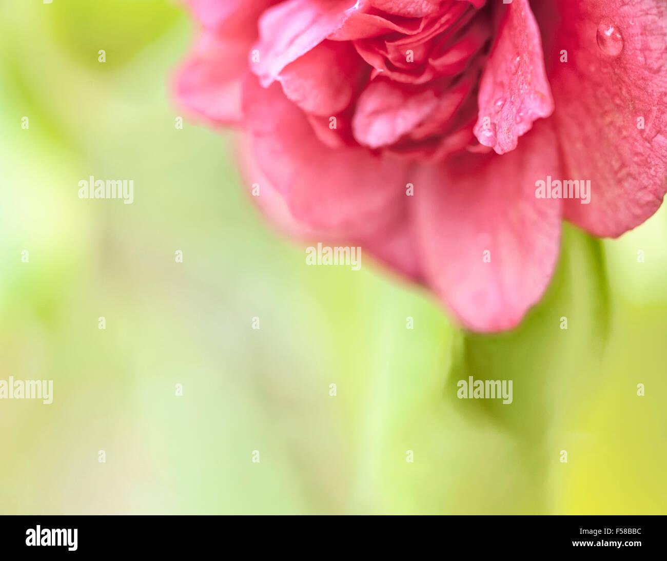 beautiful-deep-pink-hothouse-camellia-bl