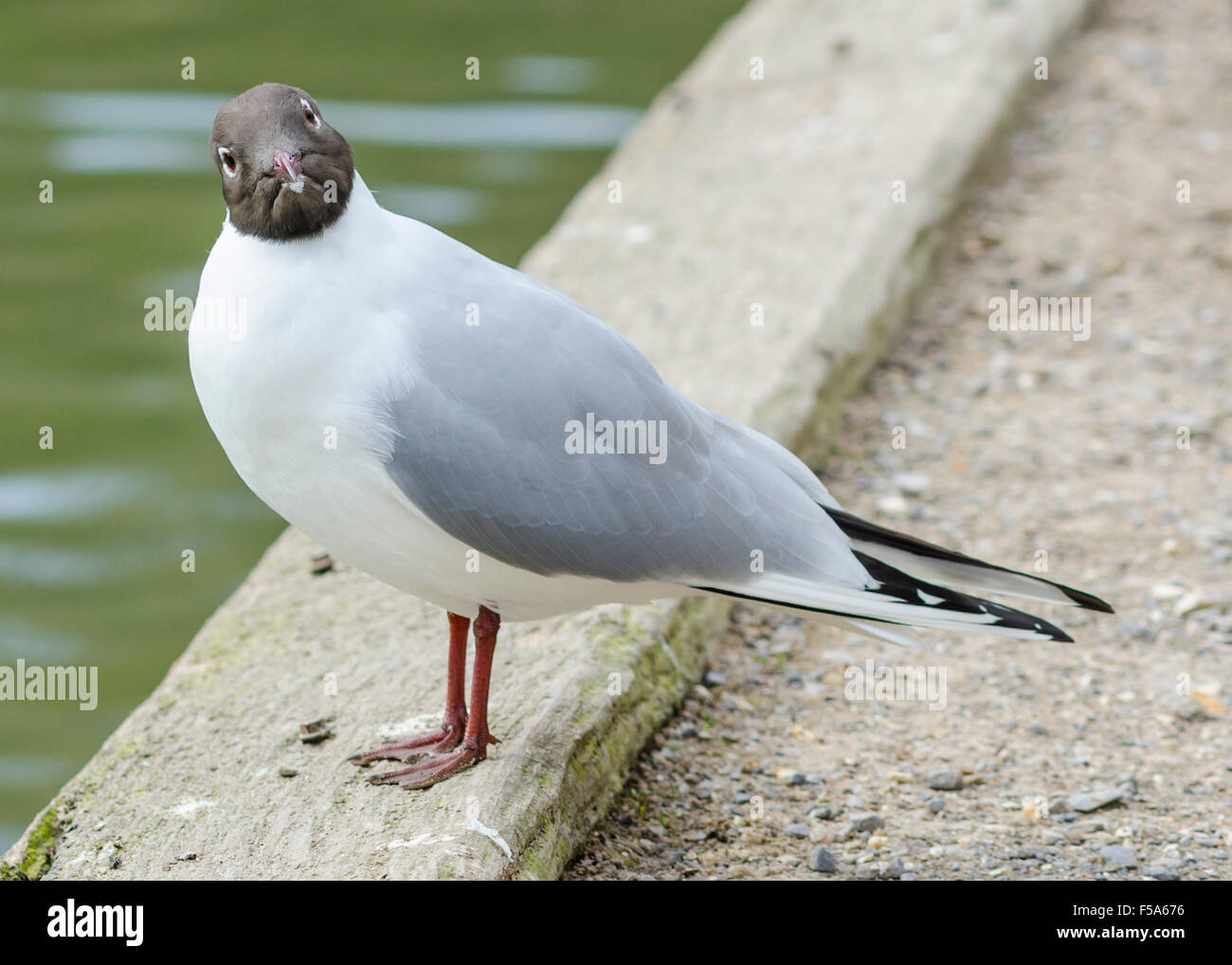 black-headed-gull-standing-by-water-making-a-funny-face-F5A676.jpg