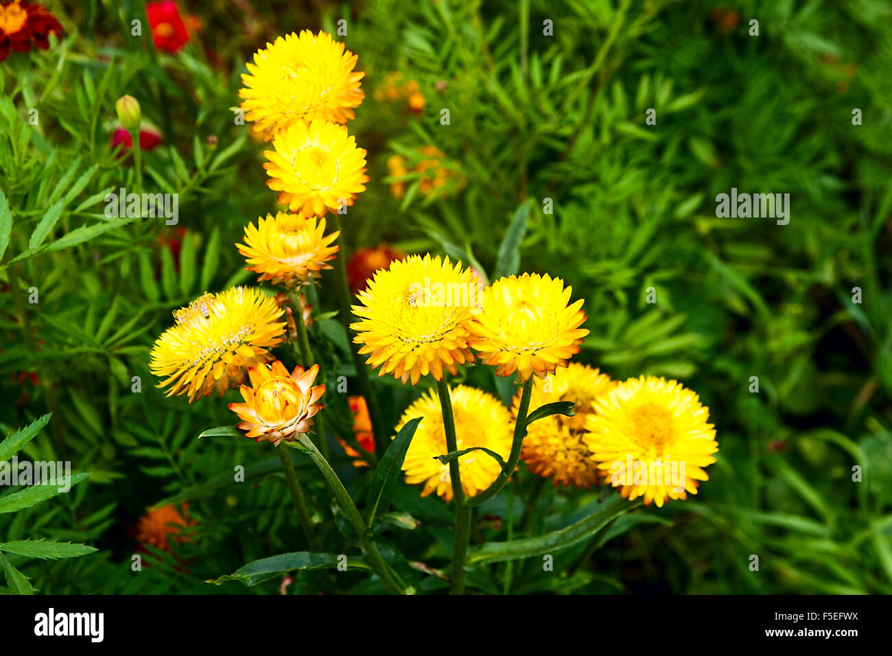 Helichrysum or Straw flower in outdoor garden Yellow straw flowers Stock Pho
