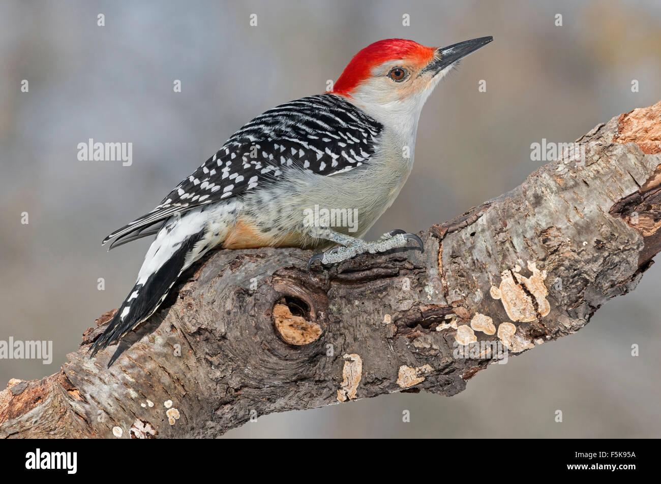 Red-bellied Woodpecker, male (Melanerpes carolinus) Eastern USA Stock Photo