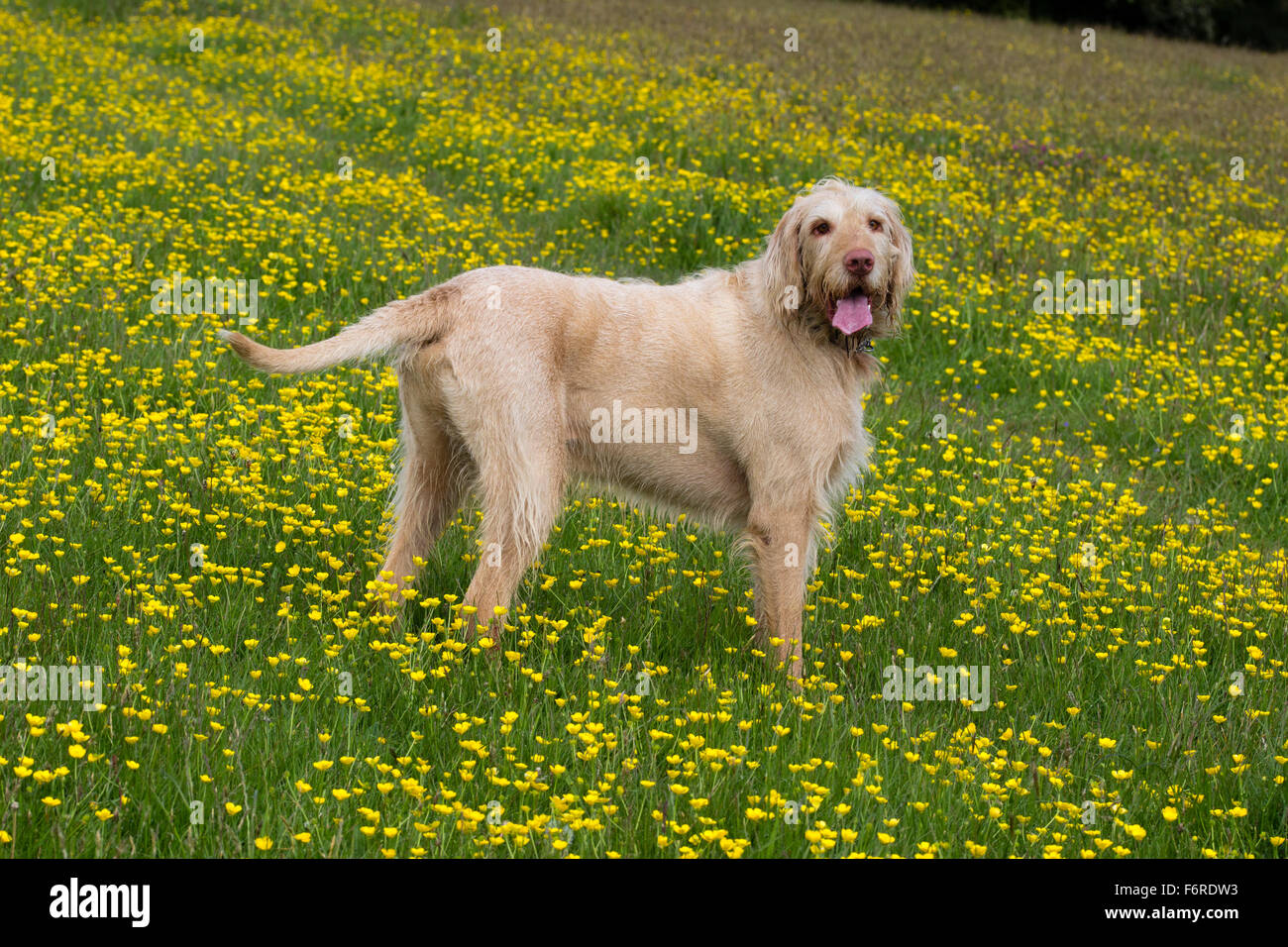 mature-male-hungarian-wire-haired-vizsla