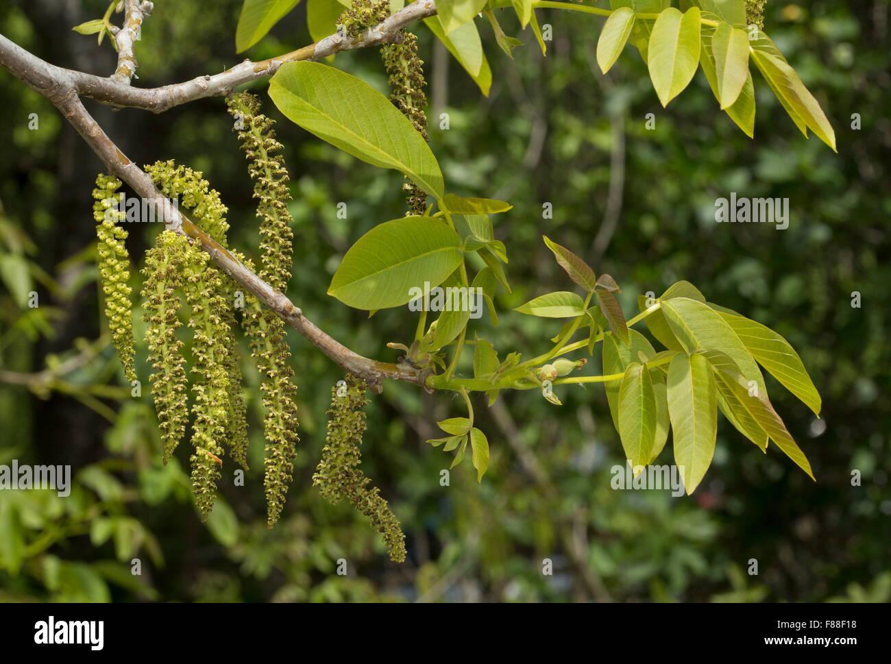 walnut tree juglans regia in flower with catkins stock. Black Bedroom Furniture Sets. Home Design Ideas