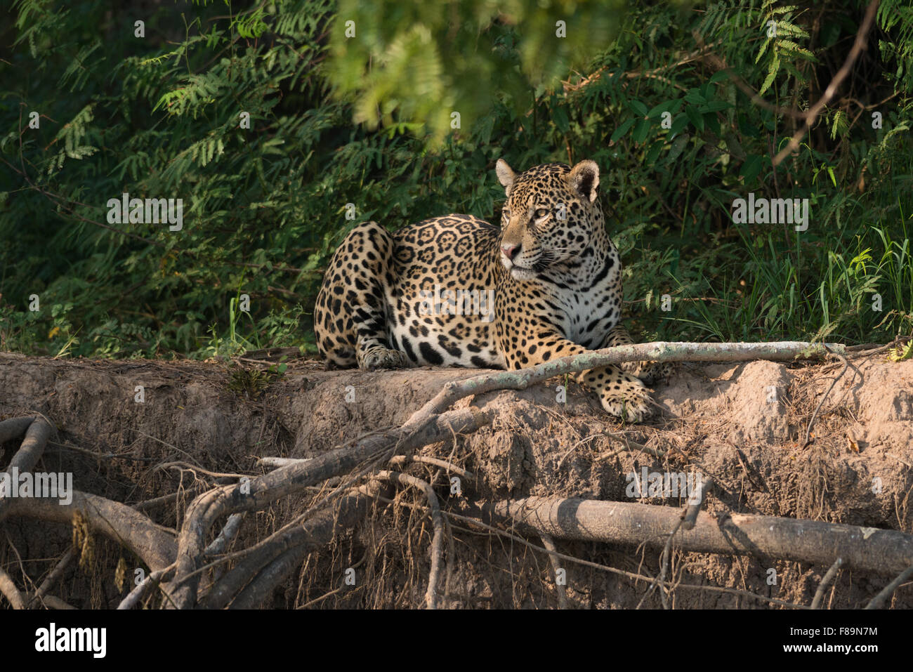 a-jaguar-resting-at-a-river-bank-in-the-