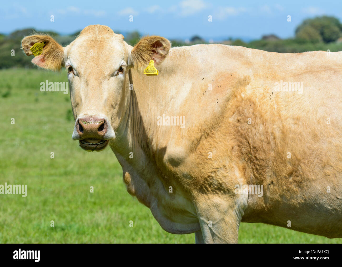 brown-cow-in-a-field-looking-at-the-came