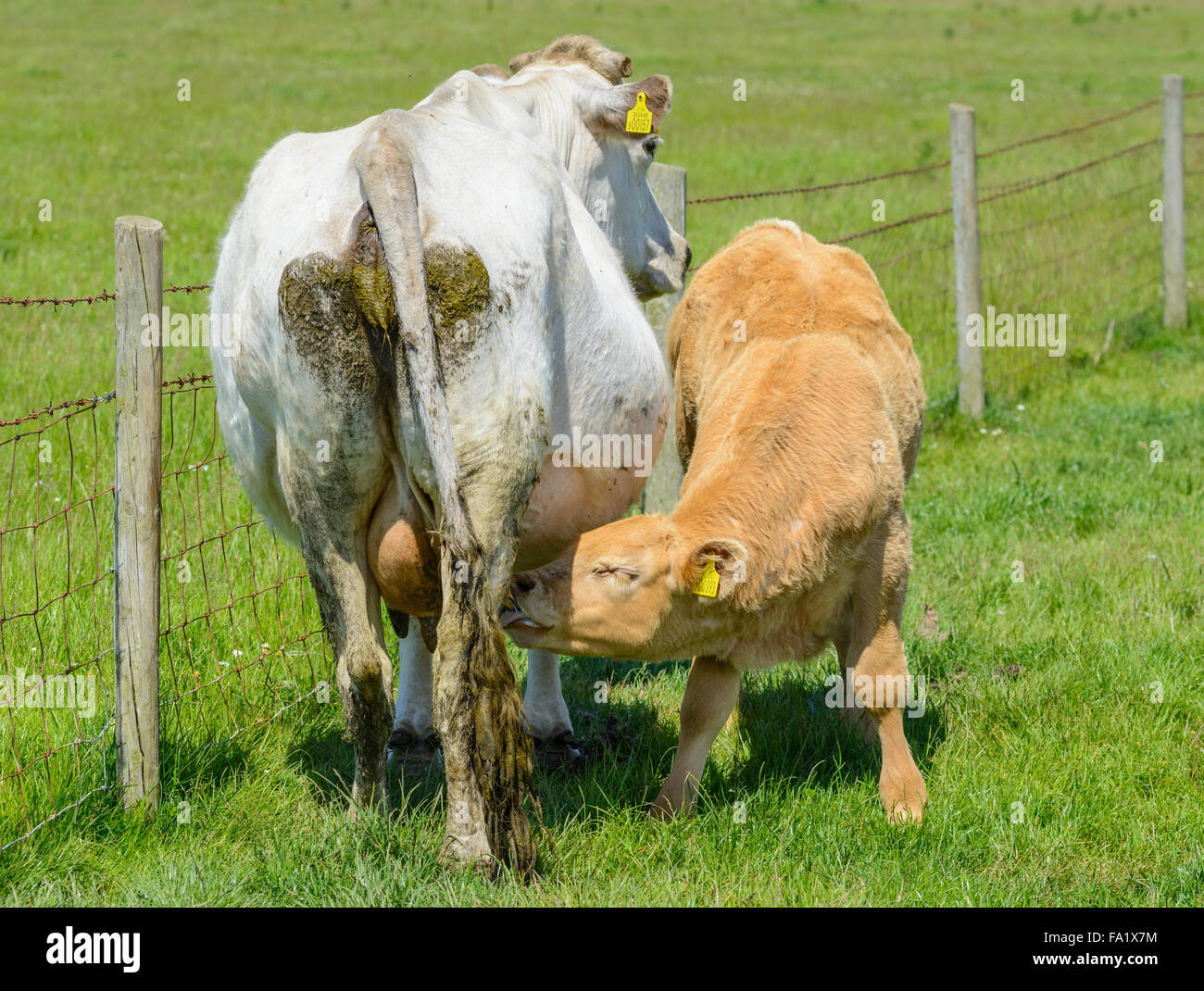 young-calf-sucking-from-its-mother-in-a-