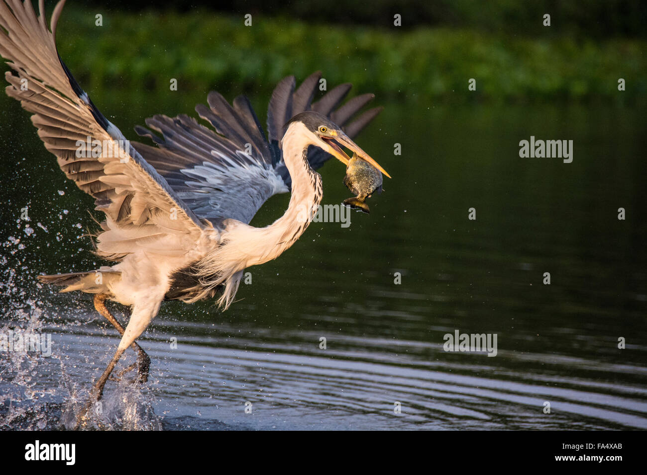 cocoi-heron-or-white-necked-heron-ardea-