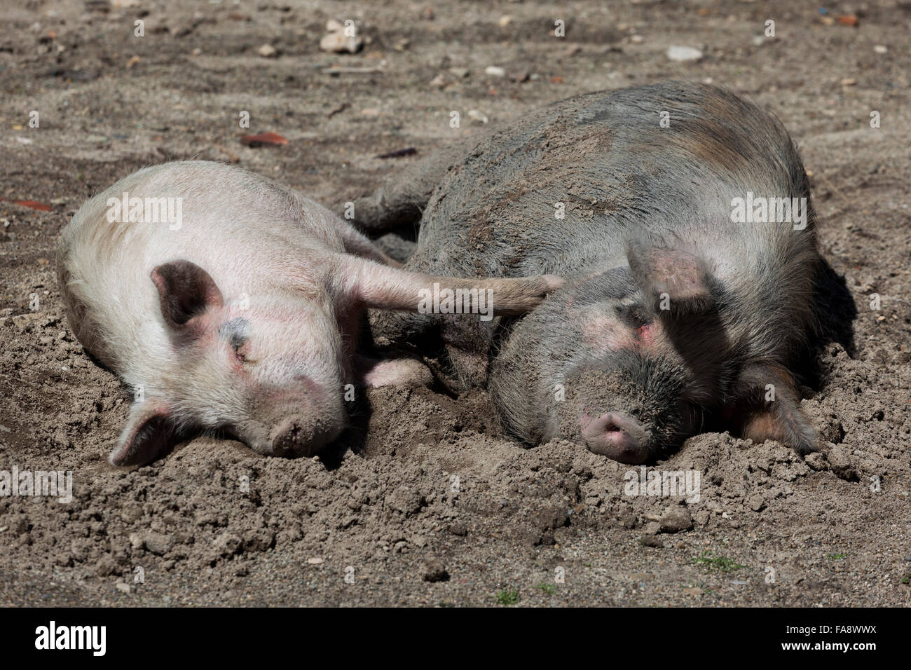 pigs-in-love-domestic-pigs-sus-scrofa-do