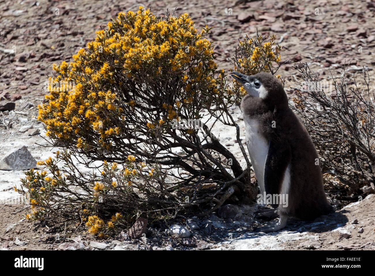 magellanic-penguin-spheniscus-magellanic