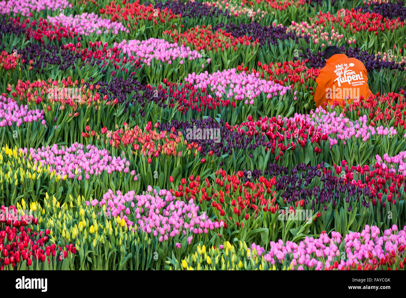 Netherlands amsterdam start of tulip season at dam for What season are tulips