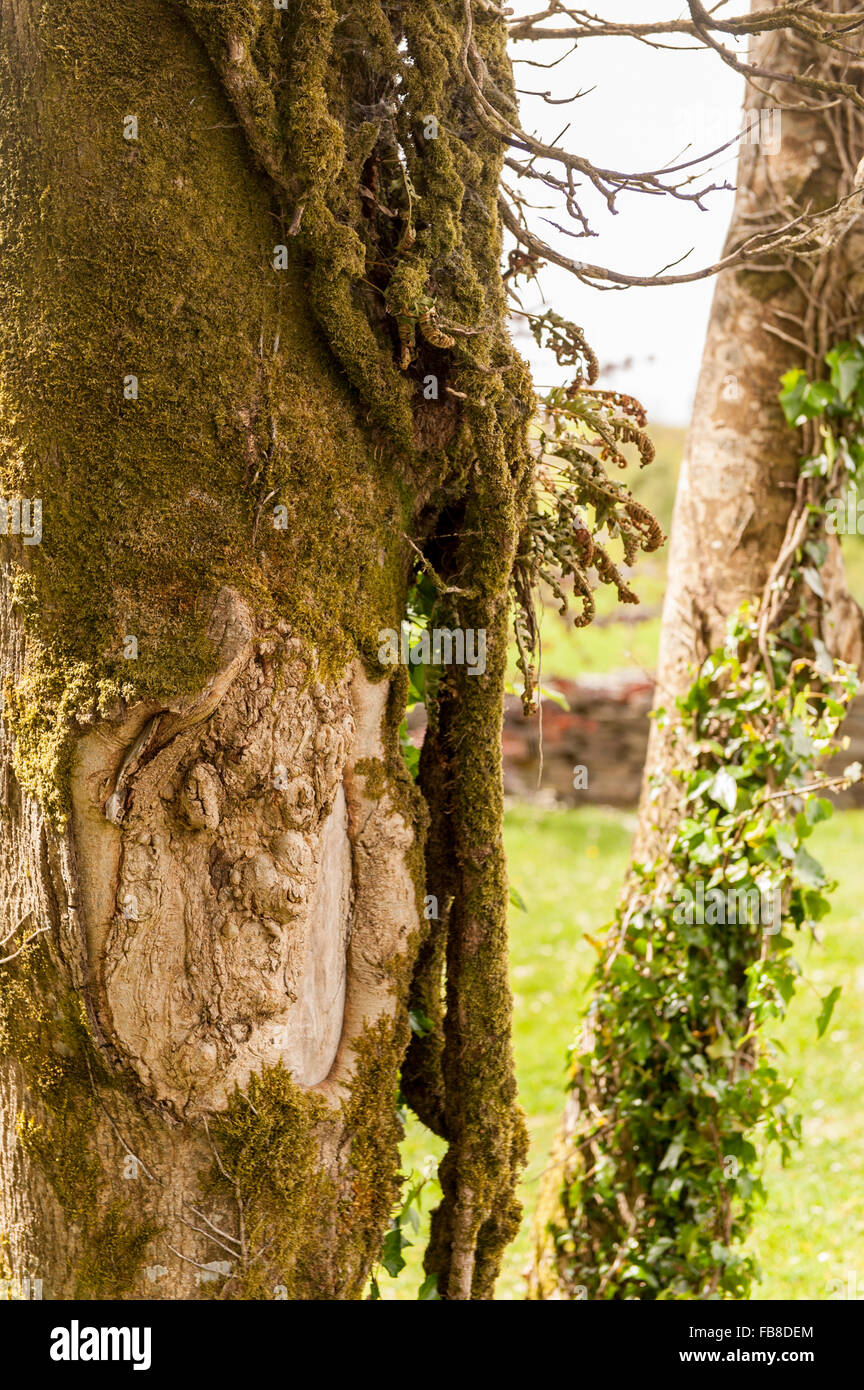 a-face-in-a-tree-trunk-west-cork-ireland