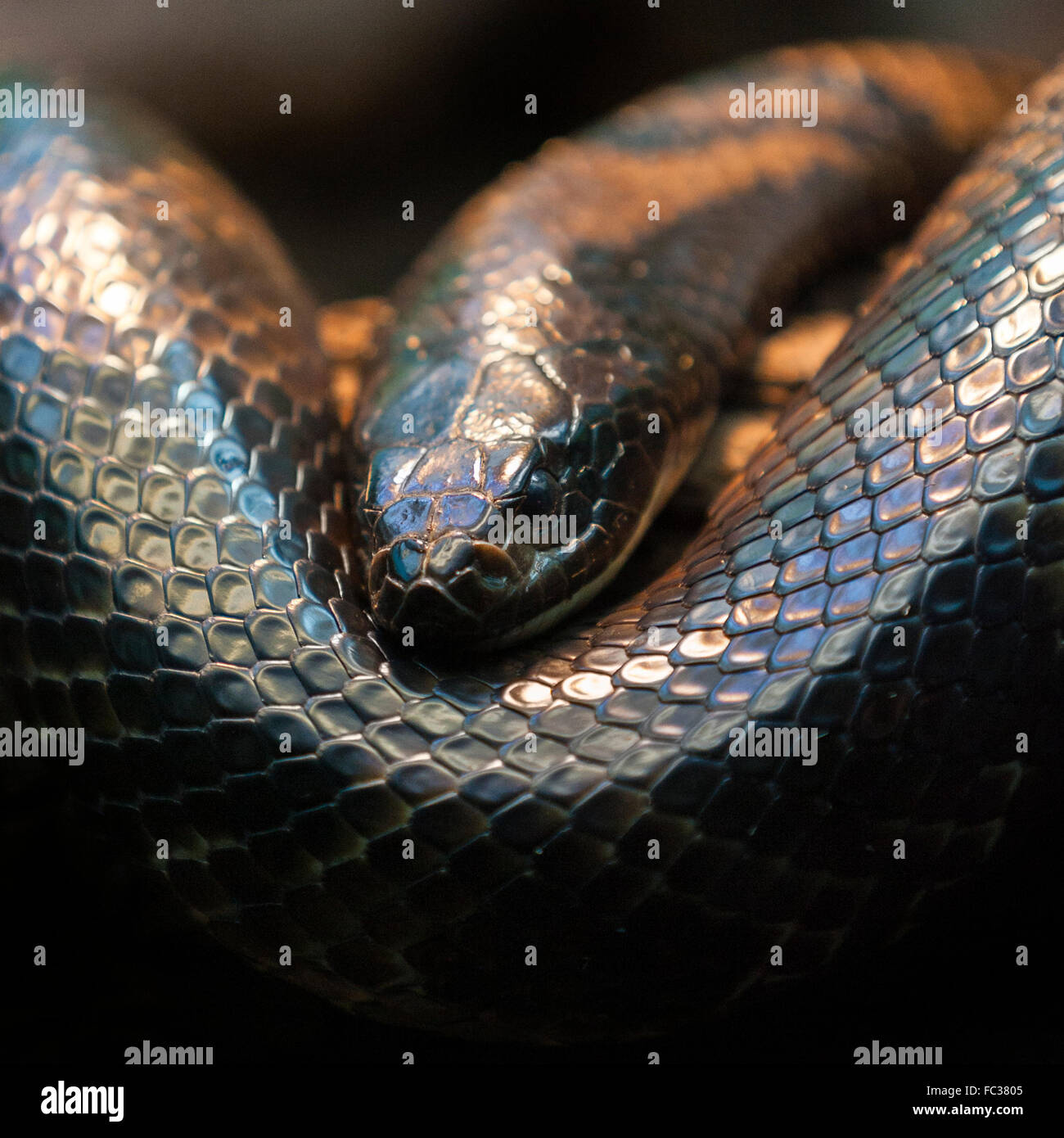 scary-looking-snake-rolled-up-on-a-dark-